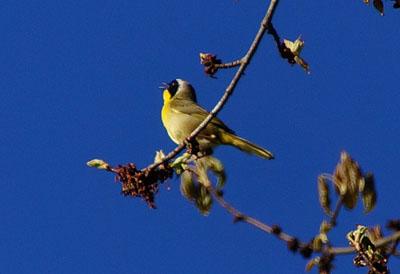 Common Yellowthroat at Tall Pines (2013)